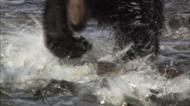 Black-furred brown bear in a river in Shiretoko, Hokkaido