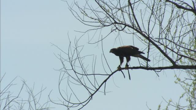 a black-hawk stands in silhouette as it perches on a branch, then drops out of sight. - perching stock videos & royalty-free footage