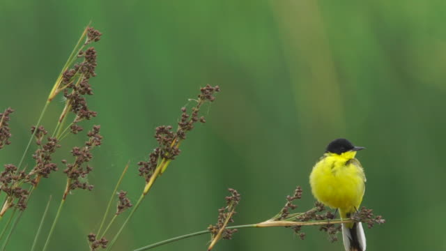 black-headed bunting (emberiza melanocephala) - azerbaijan - limb body part stock videos & royalty-free footage