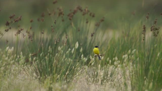 black-headed bunting (emberiza melanocephala) - azerbaijan - bird stock videos & royalty-free footage