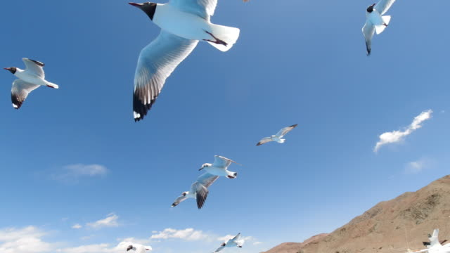 black-headed gull of bangong lake, tibet, china - seagull stock videos & royalty-free footage