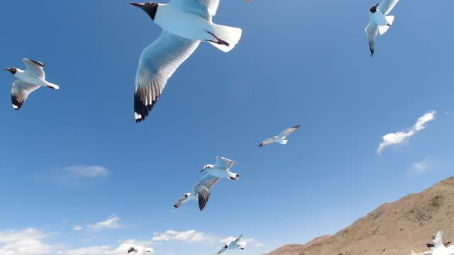 black-headed gull of bangong lake, tibet, china - カモメ科点の映像素材/bロール