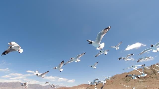 black-headed gull of bangong lake, tibet, china - seagull点の映像素材/bロール