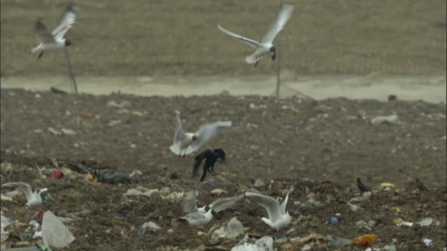 ms, pan, black-headed gulls (chroicocephalus ridibundus) feeding in landfill site, ardley, oxfordshire, united kingdom - sea water bird stock videos & royalty-free footage