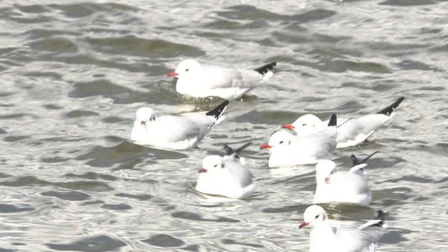 black-headed gulls (yurikamome) - shimane prefecture stock videos & royalty-free footage