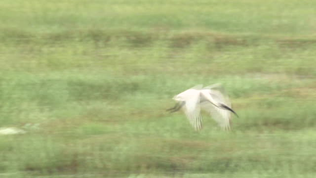 a blackheaded ibis or threskiornis melanocephalus comes flying at an egret - egret stock videos & royalty-free footage