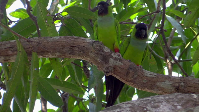 Black-hooded Parakeets perched on tree branch