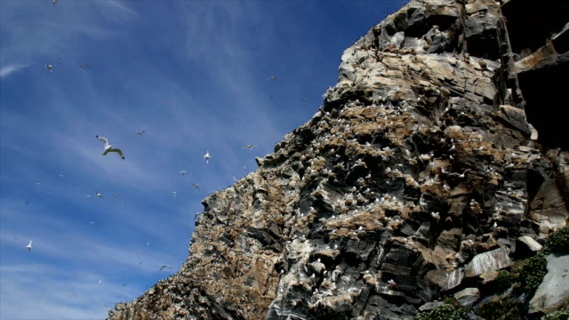 black-legged kittiwake nesting colony/ hornoya island bird cliffs - cliff stock videos & royalty-free footage
