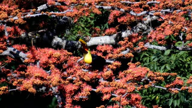 Black-mandibled Toucan (Ramphastos ambiguus) in natural surroundings
