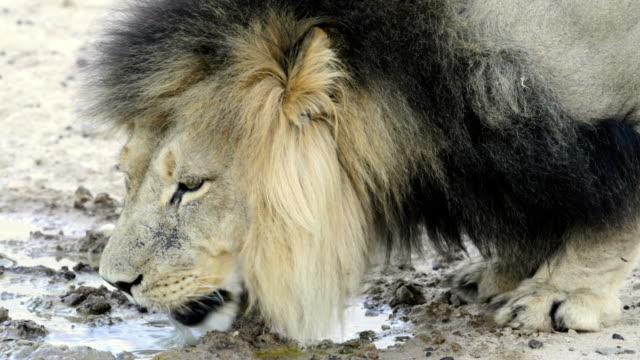 vídeos y material grabado en eventos de stock de black-maned lion drinking - desierto del kalahari