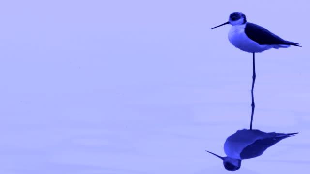 black-necked stilt - water bird stock videos & royalty-free footage