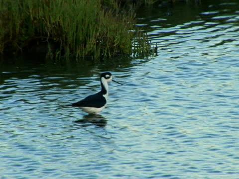 stockvideo's en b-roll-footage met black-necked stilt - in het water levend organisme