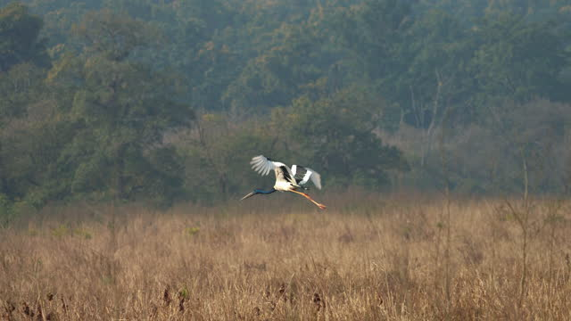 black-necked stork flying in slow motion in jim corbett national park - super slow motion stock videos & royalty-free footage