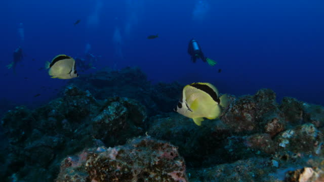 blacknosed butterflyfish (barber) at undersea reef - butterflyfish stock videos & royalty-free footage