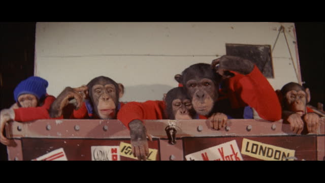 1960 - blackpool - circus chimpanzees - blackpool stock videos & royalty-free footage