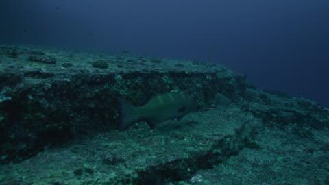 black-saddled coral grouper (plectropomus laevis) swims alongside ledges of yonaguni monument. japan - spotted stock videos & royalty-free footage