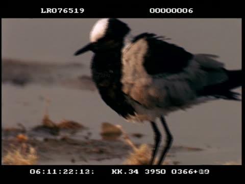 vidéos et rushes de mcu blacksmith plover bathing and preening - se lisser les plumes