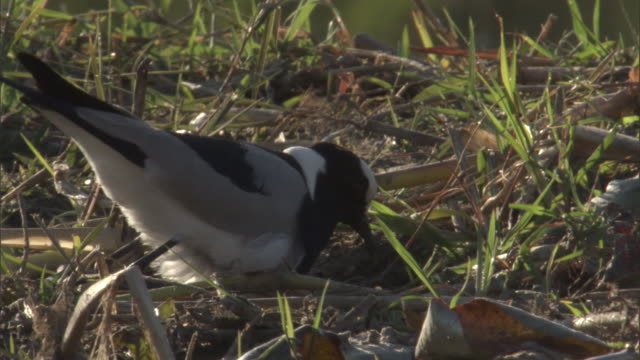a blacksmith plover settles into its nest along the banks of the gomoti river. - bird's nest stock videos & royalty-free footage