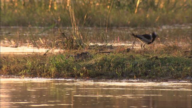 vídeos y material grabado en eventos de stock de a blacksmith plover walks on a dry path of land surrounded by a swamp. available in hd. - pantano zona húmeda