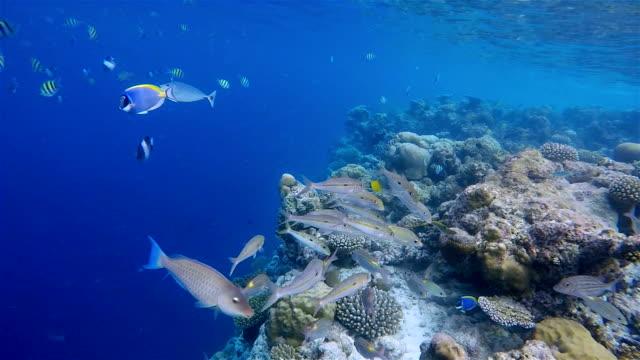 vídeos de stock e filmes b-roll de luciano-blackspot/lutjanus ehrenbergii no recife de coral-maldivas. - lutjanídeo