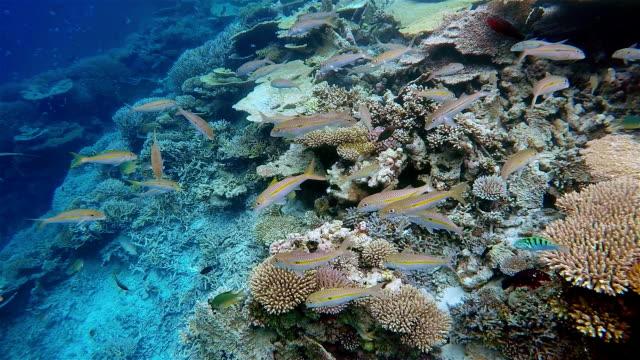 blackspot snapper / lutjanus ehrenbergii on coral reef - maldives. - ari atoll stock videos & royalty-free footage