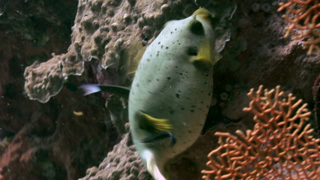 Blackspotted puffer fish (Arothron nigropunctatus). This puffer contains the deadly poison tetrodotoxin (TTX) in its flesh and organs. Despite this, it is a delicacy in Japan. It inhabits the reefs of the tropical Indo-Pacific region. Filmed in the Andama