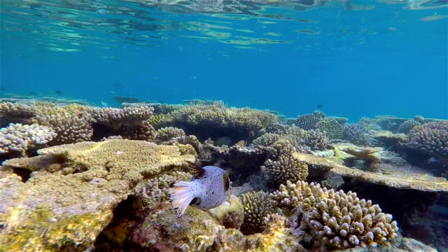 blackspotted puffer on coral reef - maldives - ari atoll stock videos & royalty-free footage