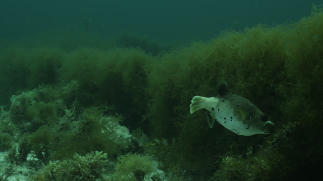 vidéos et rushes de blackspotted puffer (arothron nigropunctatus) swims over seaweed farm. japan. - varech