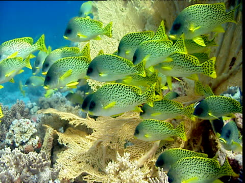 blackspotted sweetlips next to gorgonian coral. - gorgonian coral stock videos & royalty-free footage