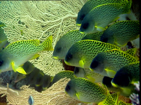 blackspotted sweetlips shoal next to gorgonian coral. - gorgonian coral stock videos & royalty-free footage