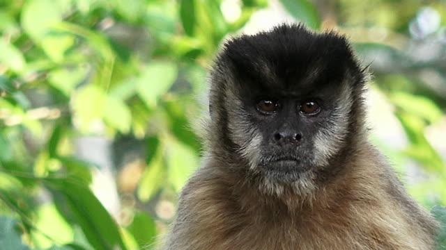 Black-striped Tufted Capuchin monkey, Pantanal, Brazil