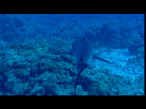 blacktail reef shark swims over coral - tierisches exoskelett stock-videos und b-roll-filmmaterial