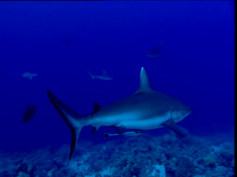 Blacktail Reef Shark swims past camera