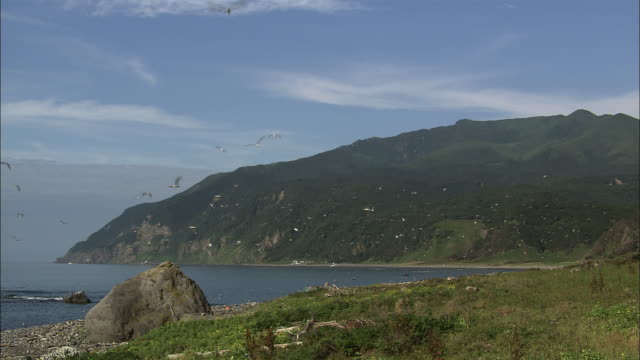 Black-tailed gulls on the Rusha coastline in Hokkaido