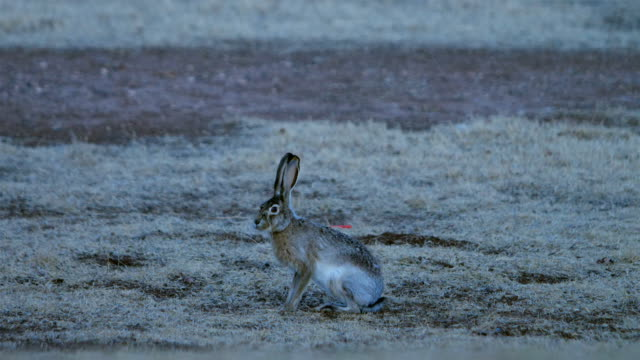 black-tailed jackrabbit - rabbit animal stock videos and b-roll footage