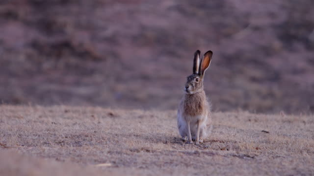 black-tailed jackrabbit - wildlife stock videos & royalty-free footage