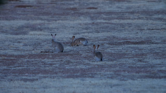 black-tailed jackrabbit - rabbit animal stock videos & royalty-free footage