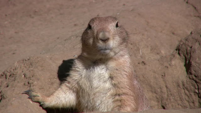 stockvideo's en b-roll-footage met cu black-tailed prairie dog (cynomys ludovicianus) poking out from hole, san francisco zoo, california, usa - knaagdier