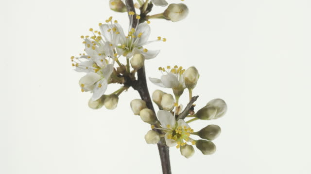 vídeos y material grabado en eventos de stock de t/l blackthorn (prunus spinosa) branch with flowers opening close up, rotating - levantar