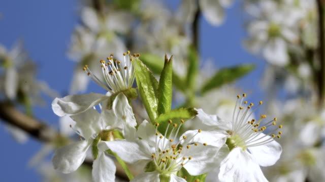 blackthorn leaves growing, timelapse - springtime stock videos & royalty-free footage