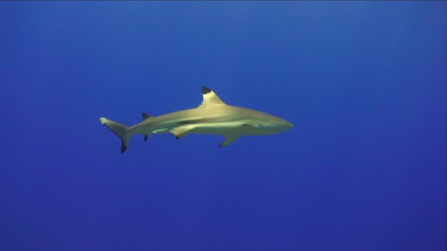 vídeos de stock e filmes b-roll de ws, blacktip reef shark (carcharhinus melanopterus) in ocean, moorea island, tahiti, french polynesia - territórios ultramarinos franceses