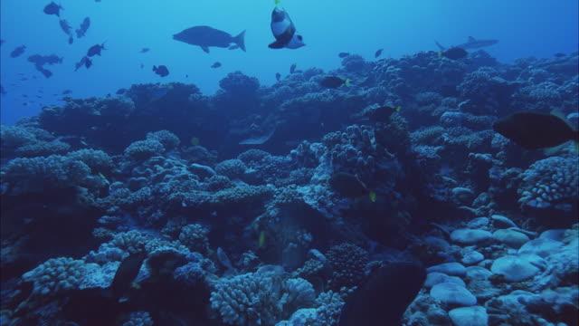 slo mo ws ms blacktip reef shark (carcharhinus melanopterus), moray eel (muraenidae) and group of tropical fish swimming near coral reef / moorea, tahiti, french polynesia - ウツボ点の映像素材/bロール