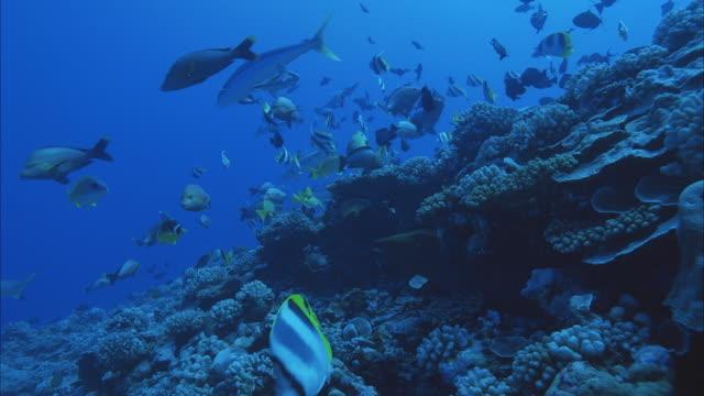 SLO MO MS Blacktip Reef Shark (Carcharhinus melanopterus), Moray eel (Muraenidae) and group of tropical fish swimming near coral reef / Moorea, Tahiti, French Polynesia