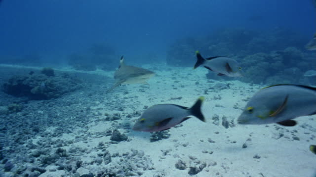 ms, blacktip reef shark swimming among snappers - ペレスメジロザメ点の映像素材/bロール