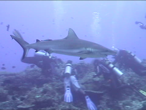 vídeos de stock e filmes b-roll de ms, pan, blacktip reef shark swimming, divers in background, new britain island, papua new guinea - barbatana dorsal