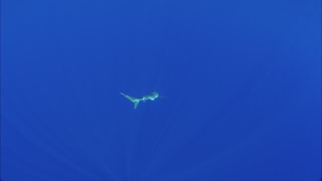slo mo ws blacktip reef shark (carcharhinus melanopterus) swimming in ocean / moorea, tahiti, french polynesia - moorea stock videos and b-roll footage