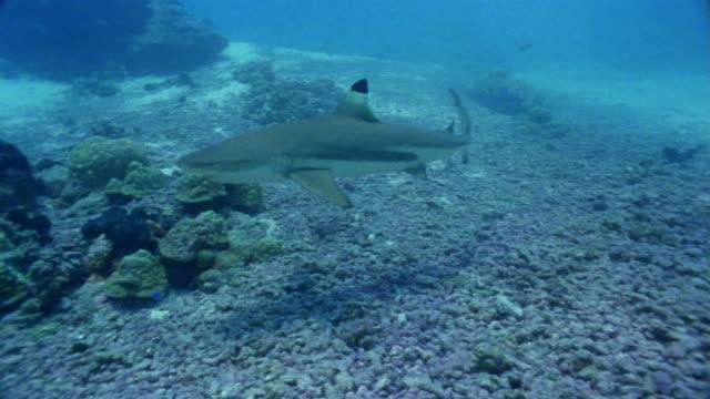 ms, blacktip reef shark swimming in ocean - ペレスメジロザメ点の映像素材/bロール
