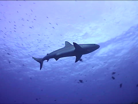 vídeos de stock e filmes b-roll de ms, pan, la, blacktip reef shark swimming, new britain island, papua new guinea - barbatana dorsal