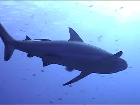 stockvideo's en b-roll-footage met ms, pan, la, blacktip reef shark swimming, new britain island, papua new guinea - rugvin