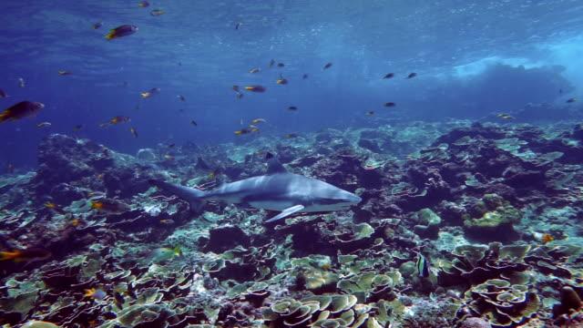 blacktip reef shark (carcharhinus melanopterus) swimming on coral reef - bucket list stock videos & royalty-free footage